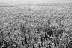 Pszeniczny pole wokoło zbierający w lecie Obraz Stock
