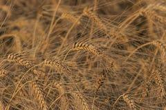 Pszeniczny pole - złoto Pundżab Fotografia Stock