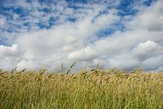 Pszeniczny pole z chmurami above zdjęcia royalty free