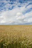 Pszeniczny pole z chmurami above zdjęcie stock