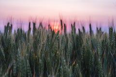 Pszeniczny pole zakrywający w zmierzchu świetle zdjęcie royalty free