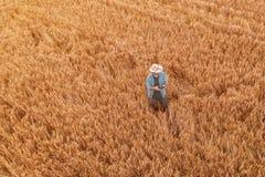 Pszeniczny rolnik z trutnia dalekim kontrolerem w polu zdjęcie stock