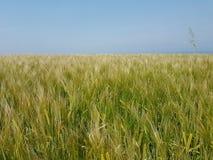 Pszeniczny wheatfield pola zieleni krajobrazu niebo Obrazy Royalty Free