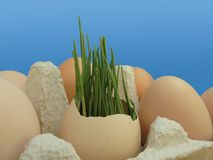 Pszeniczny zarazek w eggshell na błękitnym tle zdjęcia stock