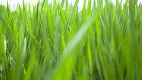 Pszenicznych potomstw zieleni liście, rolniczy wiosny pole zbiory wideo