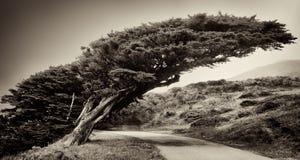 Pt Reyes drzewo Zdjęcie Stock