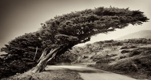PT Reyes Tree Stock Foto