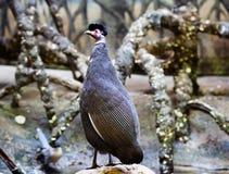 ptactwo czubata gwinea Obrazy Royalty Free