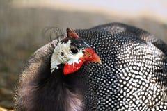 ptactwo gwinea Zdjęcie Royalty Free