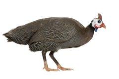 ptactwo gwinei w kasku numida meleagris obrazy stock