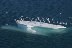 ptaków floe lodu morze