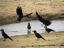 Ptaków Sparing Obrazy Royalty Free