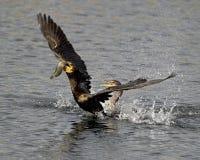 ptaków walki przetrwanie zdjęcia stock