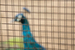 Ptak łapać w pułapkę w klatce przy zoo Obraz Stock