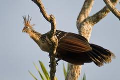 ptak śmierdzacy obrazy royalty free