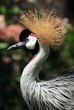 ptak afrykańska crane crown Zdjęcia Royalty Free