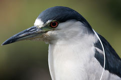 ptak afrykańskiej Zdjęcia Stock