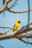 Ptak (Azjatycki złoty tkacz) na drzewie Zdjęcia Royalty Free