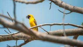 Ptak (Azjatycki złoty tkacz) na drzewie Fotografia Stock