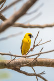 Ptak (Azjatycki złoty tkacz) na drzewie Obrazy Stock