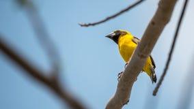 Ptak (Azjatycki złoty tkacz) na drzewie Obrazy Royalty Free