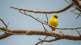 Ptak (Azjatycki złoty tkacz) na drzewie Zdjęcie Royalty Free