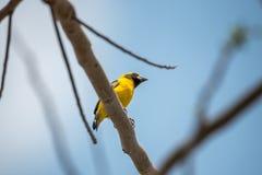 Ptak (Azjatycki złoty tkacz) na drzewie Obraz Royalty Free
