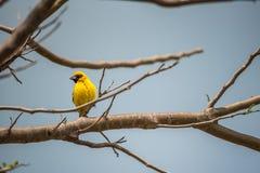 Ptak (Azjatycki złoty tkacz) na drzewie Zdjęcia Stock