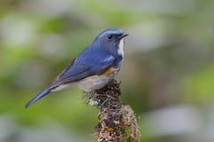 Ptak, Błękitny ptak, Himalajski Bluetail Tarsiger rufilatus Obrazy Royalty Free