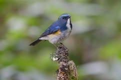 Ptak, Błękitny ptak, Himalajski Bluetail Tarsiger rufilatus Obraz Stock