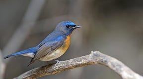 Ptak, Błękitny ptak, męscy Throated Flycatcher Cyornis rubeculoides Obrazy Stock