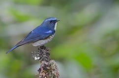 Ptak, Błękitny ptak, męski Himalajski Bluetail Tarsiger rufilatus Obrazy Royalty Free