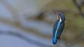 Ptak, Błękitny ptak, Pospolici zimorodka Alcedo atthis Obraz Stock