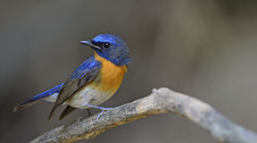Ptak, Błękitny ptak, Throated Flycatcher Cyornis rubeculoides Obrazy Royalty Free