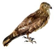 Ptak błotniak bagnem jest Fotografia Royalty Free
