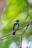 Ptak (Biały Flycatcher) na drzewie Obraz Royalty Free
