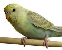 Ptak - Budgeriegar zdjęcia stock