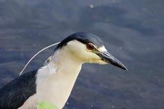 Ptak - czerni nocy koronowana czapla w wodzie Obrazy Stock
