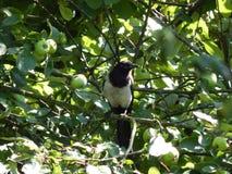 Ptak czterdzieści siedzi na gałąź jabłoń obraz stock
