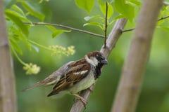 Ptak - domowy wróbel Obrazy Royalty Free