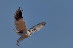 Ptak drapieżny bierze daleko od nieżywych gałązek Obraz Royalty Free