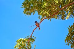 Ptak exotically siedzi na gałązce w Yala Nationalpark Obrazy Stock