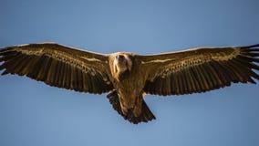ptak fulvus gyps zdobycz lipetsk Rosji zoo Obraz Royalty Free