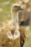 ptak fulvus gyps zdobycz lipetsk Rosji zoo Obraz Stock