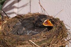 ptak gniazdowy s Obraz Royalty Free