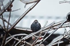 Ptak i mróz Fotografia Royalty Free