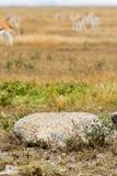 Ptak i Thomson gazela w tle Fotografia Royalty Free