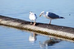 ptak je ryba na Jeziornym Ontario, brać w Toronto Zdjęcie Stock