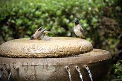 ptak kąpielowy. intensywne zdjęcie royalty free
