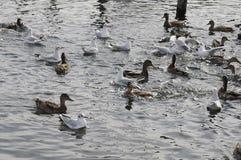 PTAK kaczki I SEAGILS Fotografia Stock